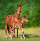 Best Breeding Practices for First Time Horse Breeders